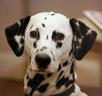 dalmatian-dog-pictures