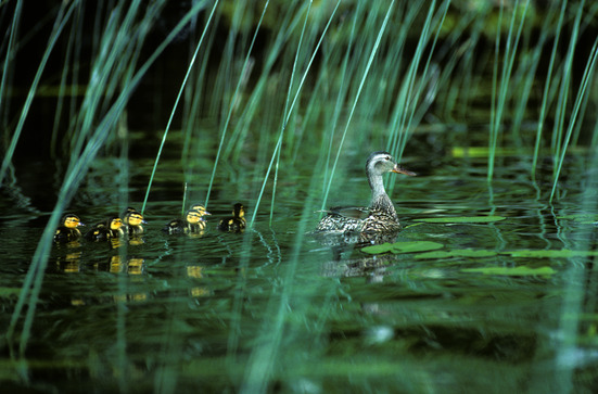 photodune-460014-mallard-duck-with-ducklings-xs